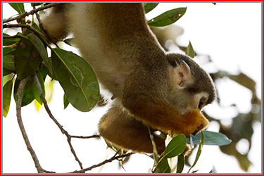 Spider monkey: link to Amazon gallery